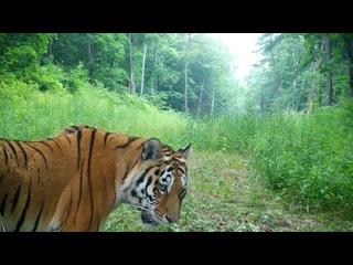 Как лечат зубы амурским тигрятам