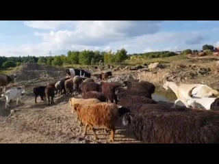 Стадо с фермы у Тарелочкиного пруда около полигона Кучино