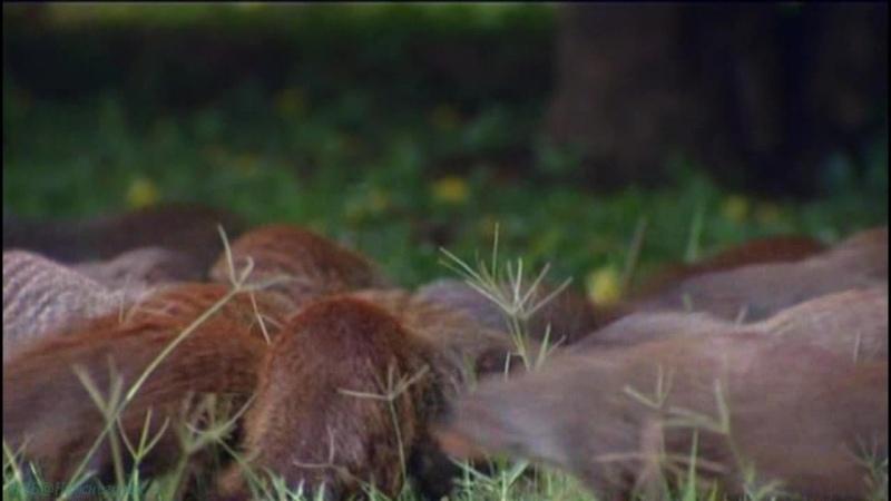 BBC Полосатые братья Банда мангустов 8 серия Документальный природа животные 2009