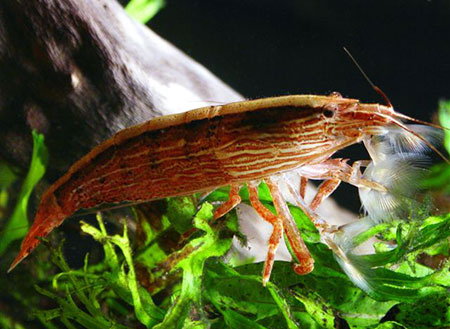 Креветка фильтратор (Atyopsis moluccensis), изображение №2
