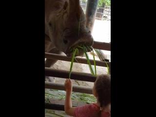 Вероника кормит носорога