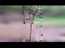Смешные обезьяны прыгают с дерева в воду!