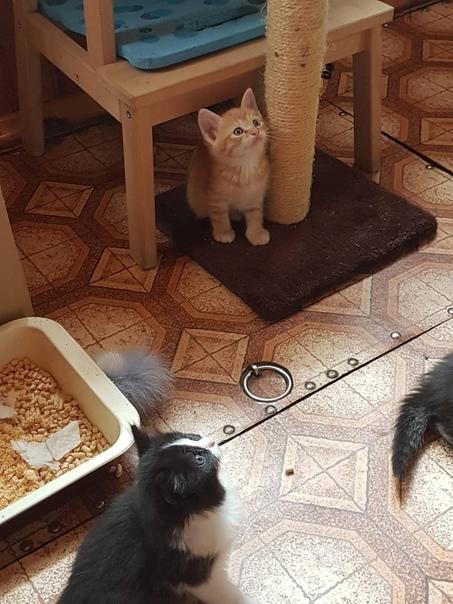 Отдам в добрые заботливые руки 3 котят 2 рыжих кот...