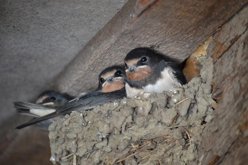 Гнездо ласточки-касатки, автор фото - Наталья Киселева (https://vk.com/kiana0110)