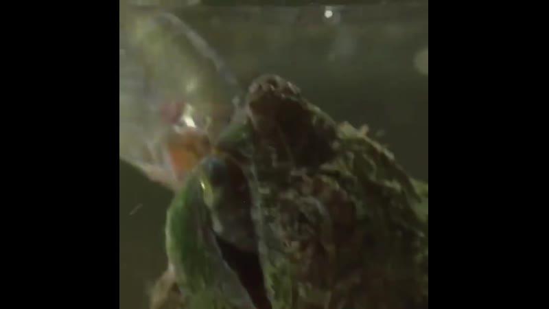 Щелкает черепаха ест рыбку