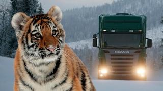 Тигрята сидели на обочине трассы и отчаянно звали на помощь. Их мама была ранена и почти обречена