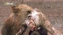 Nat Geo Wild Дикая Ботсвана Братство львов HD