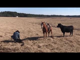 Лошадь не подпускает корову