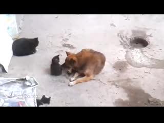 Кошка знакомит своих котят с собакой видео о настоящем доверии