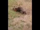 Porco x pitbull 2