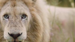 Operation Fang: The Lions   Lion Whisperer Membership