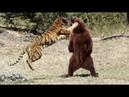 МЕДВЕДЬ В ДЕЛЕ! Медведь против тигра волка льва моржа