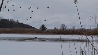 Зимняя прогулка. Стая диких уток. Дикие утки-кряквы в природе.