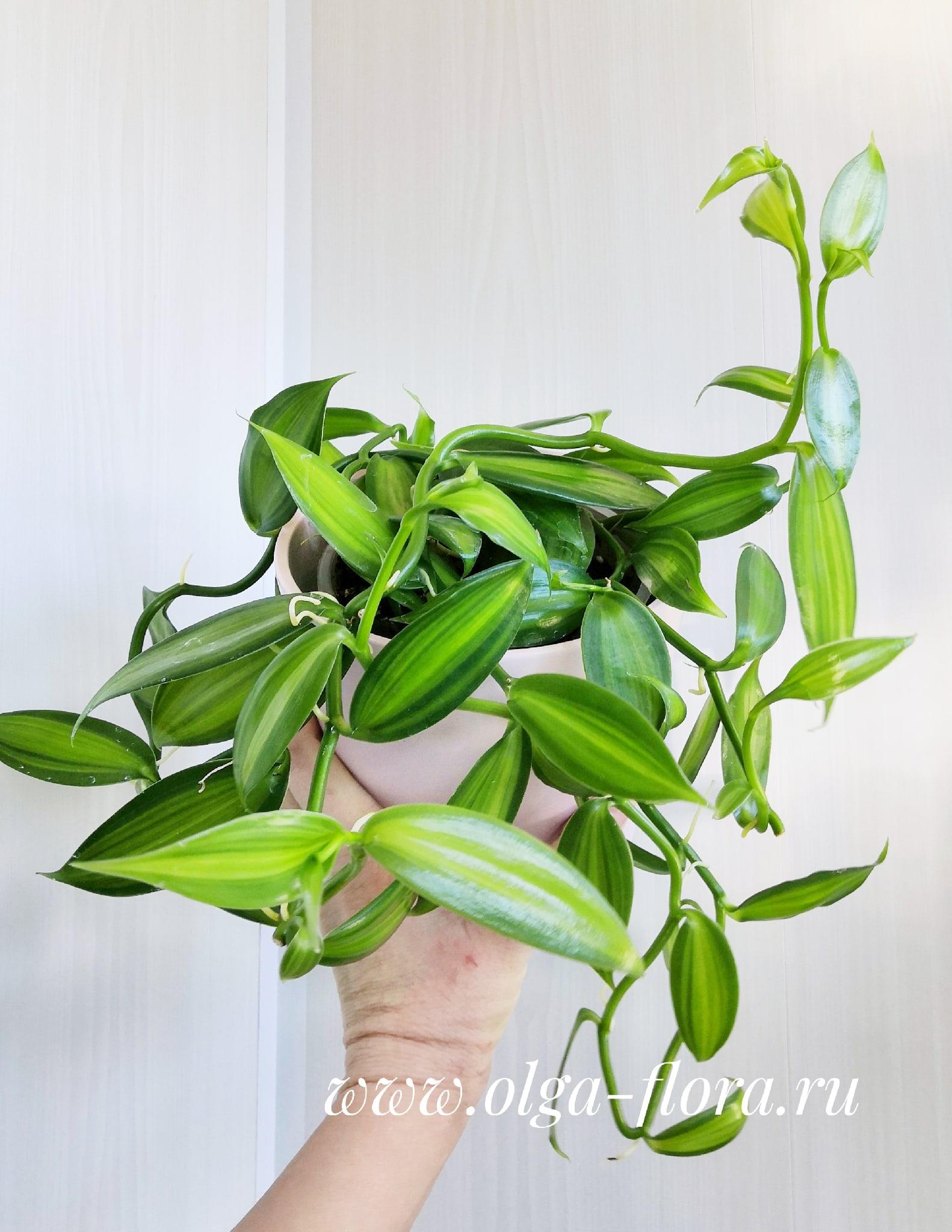 Орхидеи - Страница 25 Rb4vqNn8m3c